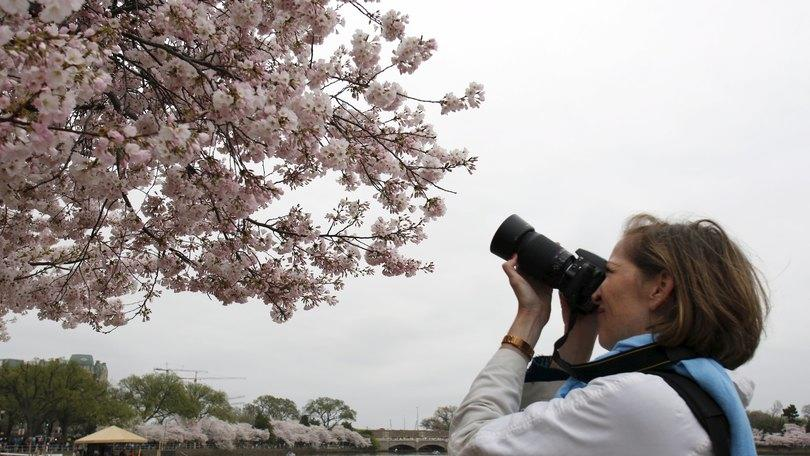 A Roma la primavera fiorisce come a Tokyo