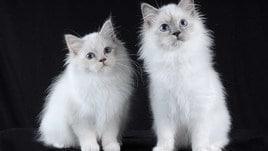 Gatti di razza e mici di casa alla Nuova Fiera di Roma