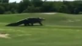 C'è un alligatore gigante sul campo da golf!