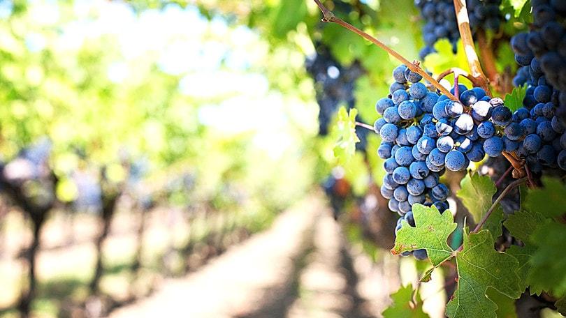 Strade dei vini, una passeggiata tra le vigne del Lazio