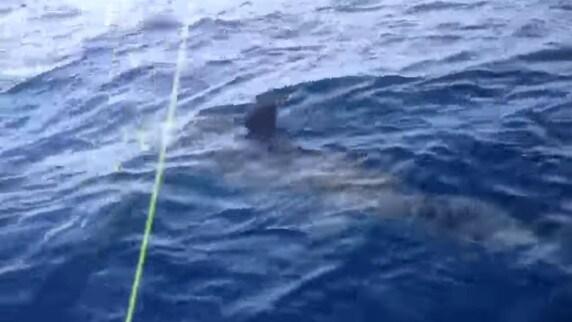 Squalo avvistato nel mar Adriatico. La capitaneria: «Non fate sport»