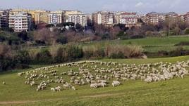 Roma:pecore tosaerba in parchi periferia