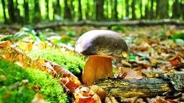 Sapori del territorio con la Sagra del fungo porcino