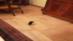 Il pinguino che tifa Roma: tormentone sul web