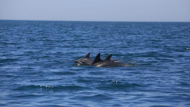 Toscana, è il morbillo la causa della strage di delfini