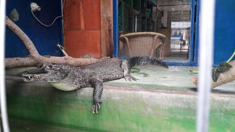 Orosei, sparito un coccodrillo da un circo