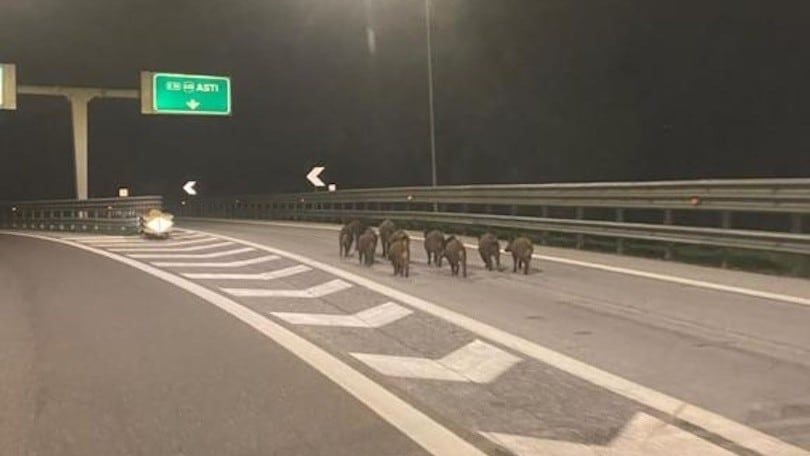 Cinghiali in autostrada, la foto virale mette in allarme la provincia di Asti