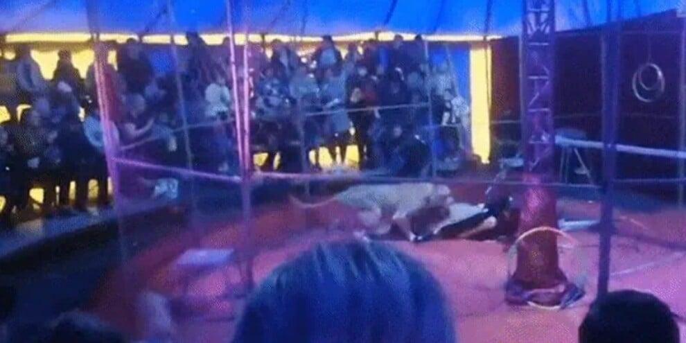 184836960 43485913 d4b5 4cc4 a2f1 7a85e45d10ab - Russia, leonessa attacca il domatore: attimi di terrore in un circo